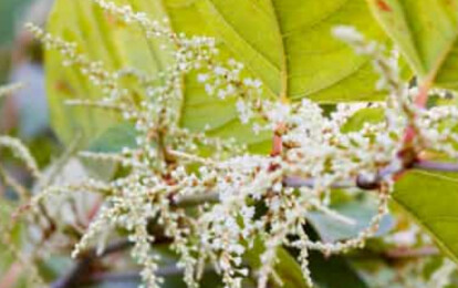 SW Knotweed Removal Specialists